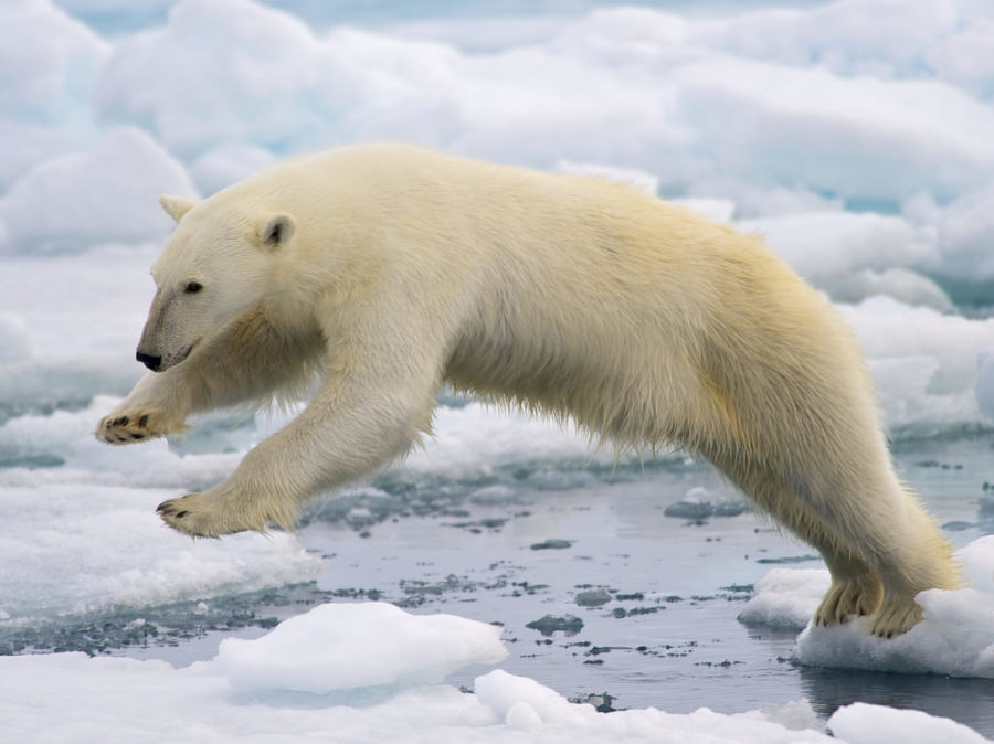 Polar+bears+are+just+one+of+the+many+animal+species+that+have+already+felt+the+effects+of+climate+changes.+The+newest+executive+order+issued+by+President+Trump+may+enhance+the+effects+felt.+