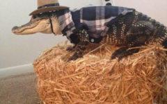 Neshaminy senior shares love for pet alligator